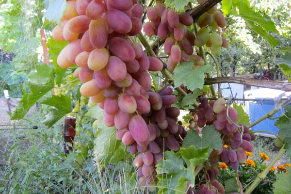 Виноград сорт новый подарок 56