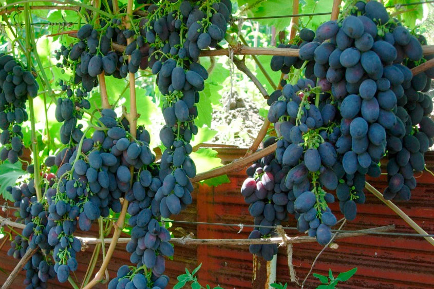 Виноград сорт новый подарок 23
