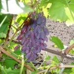 """Сорт винограда """"Ризамат"""". Фотография сделана 4 сентября 2005 года."""