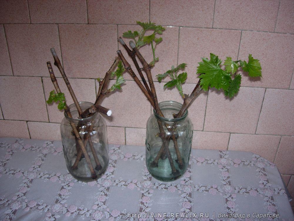 Проращивание черенков в домашних условиях 825