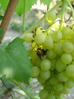 Осы поедают самую спелую ягоду сорта винограда Кишмиш ГФ 342