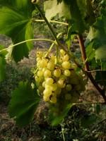 Осы оккупировали гроздь винограда сорта Кишмиш ГФ 342