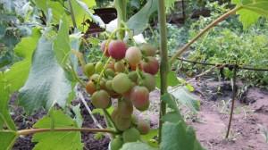 Сигнальная гроздочка Ришелье -начинает окрашиваться