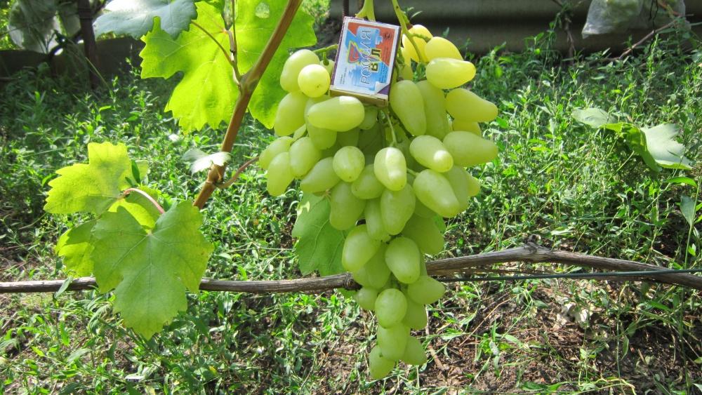 Описание винограда подарок запорожью 766