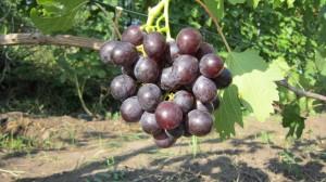Рошфор - сигнальная гроздь.