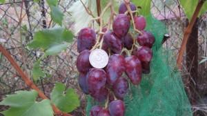 Сорт Дубовский Розовый, сигнальная гроздь.
