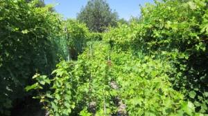 Саженцы винограда в школке.