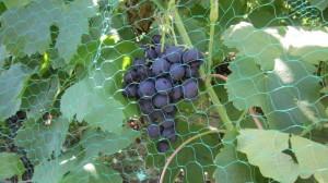Сорт Рошфор  - гроздь.