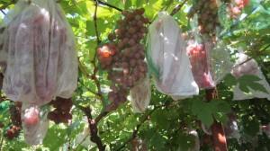 Сорт кишмиш Лучистый - грозди в мешочках от ос.