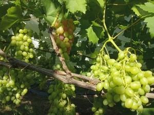 Ливия. Ягоды на маленькой грозди начали окрашиваться.